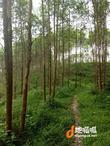 清远150亩桉树林连地转让今年可砍树从化交界灌木山林证件齐全
