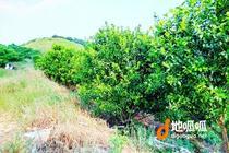 广东 肇庆 广宁县 150亩果园农场 转让